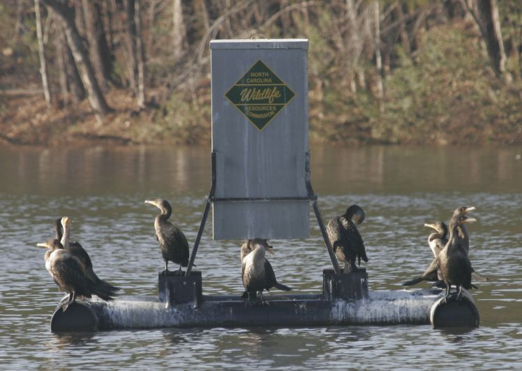 DCCormorants_feeder